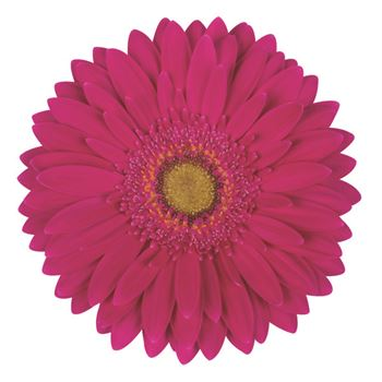 Gerbera Select Absolut