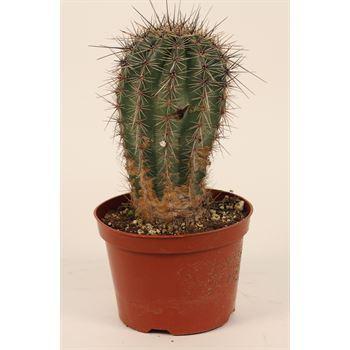 """6"""" Cactus Assorted  (Case 6)"""