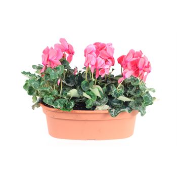 "16"" Cyclamen Oval         (Case 3)"