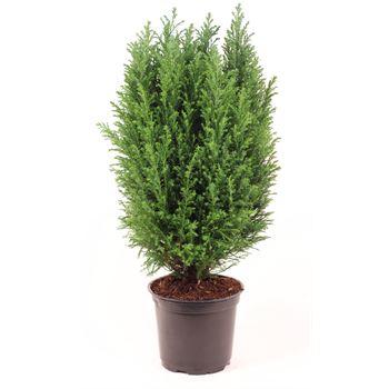 "6"" Cypress Premium   ""phyto""    (Case 8)"