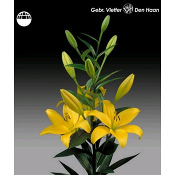 Lily 4 Bloom Yellow