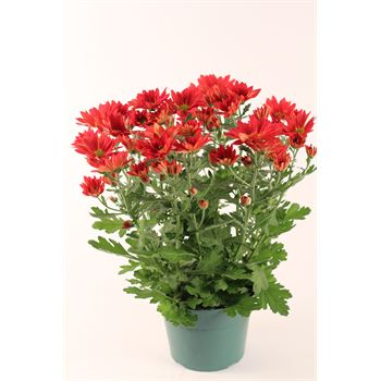 "6"" Mum Red Daisy (Case 8)"