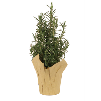 "4"" Rosemary Tree (Case 18)"