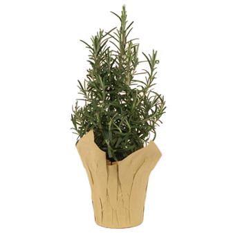 """4"""" Rosemary Tree (Case 18)"""