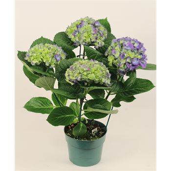 "6"" Hydrangea 4 Bloom     (Case 6)"