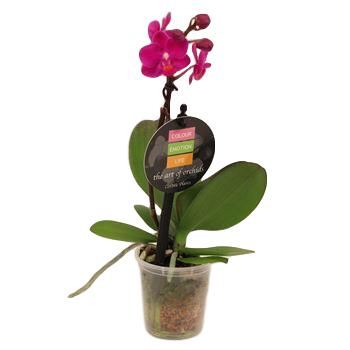 "2.5"" Phalaenopsis Orchids        (Case 18)"