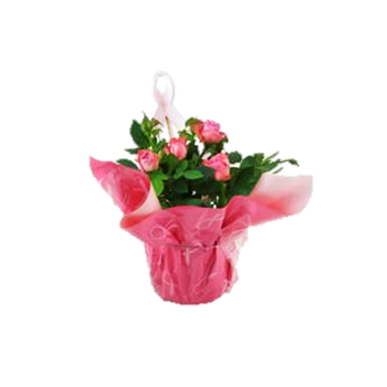 """6"""" Rose BCA with Wrap & Pick        (Case 8)"""