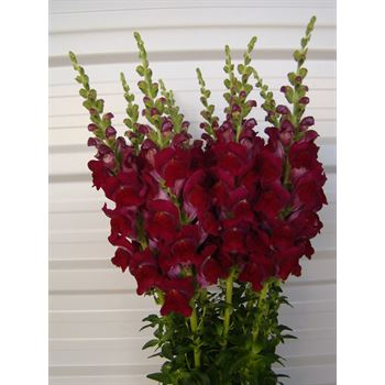 Snapdragons Medium Burgundy