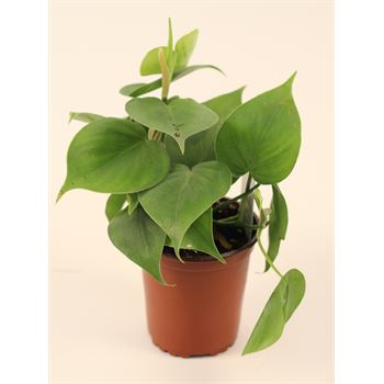 """3.5"""" Philodendron     (Case 18)"""