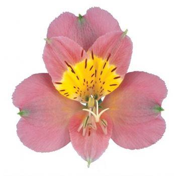 Alstroemeria Select Medium Pink