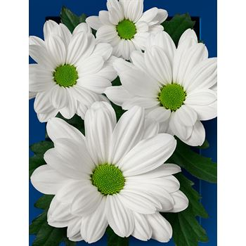 Poms (Cutmums) White Daisy