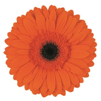 Gerbera Select Powerplay