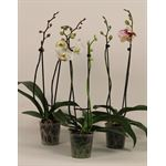 """Additional Images for 5"""" Phal Orchid 2 Spike         (Case 10)"""