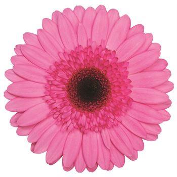 Gerbera Select Pink