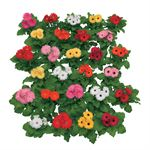 "Additional Images for 6"" Gerbera Assorted (Case 8)"