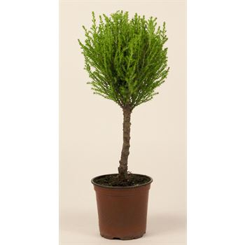 """4.5"""" Goldcrest  Topiary        (Case 15)"""
