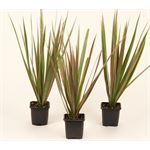 """Additional Images for 3"""" Dracaena Bicolour  (case 32)"""