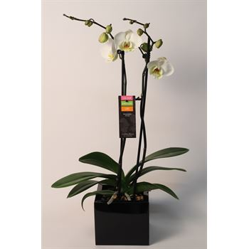 """5"""" Phal Orchid 2 Spike in Metal Cube (Case 8)"""