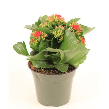 "4.5"" Kalanchoe Red (Case 15)"