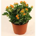 "Additional Images for 6"" Kalanchoe Premium Assorted (Case 8)"