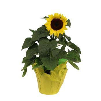 """6"""" Sunflower          (Case 8)"""