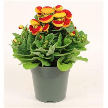 "5"" Calceolaria         (Case 14)"