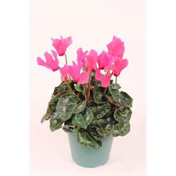 "4.5"" Cyclamen Pink (Case 15)"