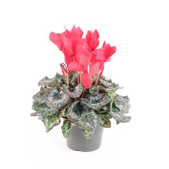 "6"" Cyclamen Red (Case 8)"
