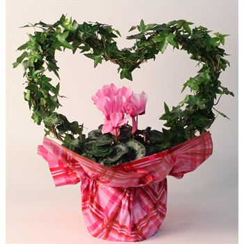 """7"""" Ivy Heart with Cyclamen, Mylar and Pick   (Pack 6)"""
