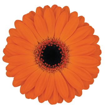 Gerbera Mini Allure