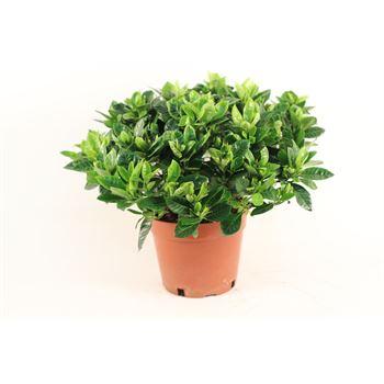 """8"""" Gardenia    (Pack 4)"""