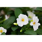 "Additional Images for 7.5"" Solanum Jasmine   (Case 6)"