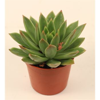 """3.25"""" Succulent - Echeveria     (Case 18)"""