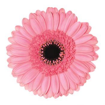 Gerbera Mini Petticoat