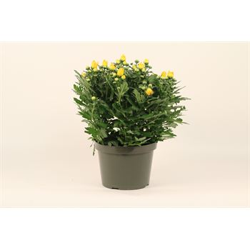 """8"""" Mums Assorted (Case 4)"""