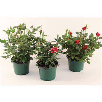 """4"""" Rose Christmas Asst  (Red/White/Gigi)     (Case 18)"""