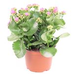 """Additional Images for 6"""" Kalanchoe Premium Pink (Case 8)"""