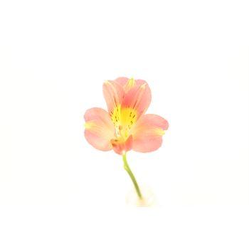 Alstroemeria Select Briggita