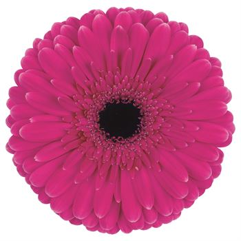 Gerbera Select Picobello