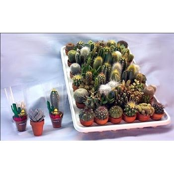 """1.5"""" Cactus &  Succulents Assorted     (Case 61)"""