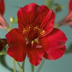 Additional Images for Alstroemeria Select Red