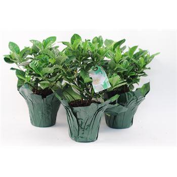 """4.5"""" Gardenia  (Pack 15)"""