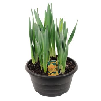 """8"""" Daffodil            (Case 4)"""