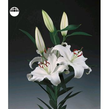 Lily Oriental 4+ Bloom White