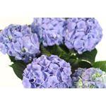 "Additional Images for 6"" Hydrangea 5 Bloom Premium      (Case 6)"
