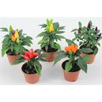 """Additional Images for 2.5"""" Ornamental Pepper     (Case 28)"""