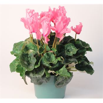 "6"" Cyclamen Ruffled    (Case 8)"