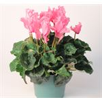 "Additional Images for 6"" Cyclamen Ruffled    (Case 8)"