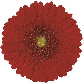 Gerbera Mini Red