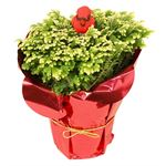 "4"" Frosty Fern Decorated (Potcover & Cardinal Pick)   (Case 18)"